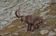 Stambecco: dal Gran Paradiso alle Alpi
