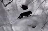Pillole di natura: Sulle tracce del lupo