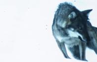 Pillole di natura: Il ritorno del lupo nel Gran Paradiso