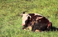 Pillole di natura: le mucche tutelano il paesaggio