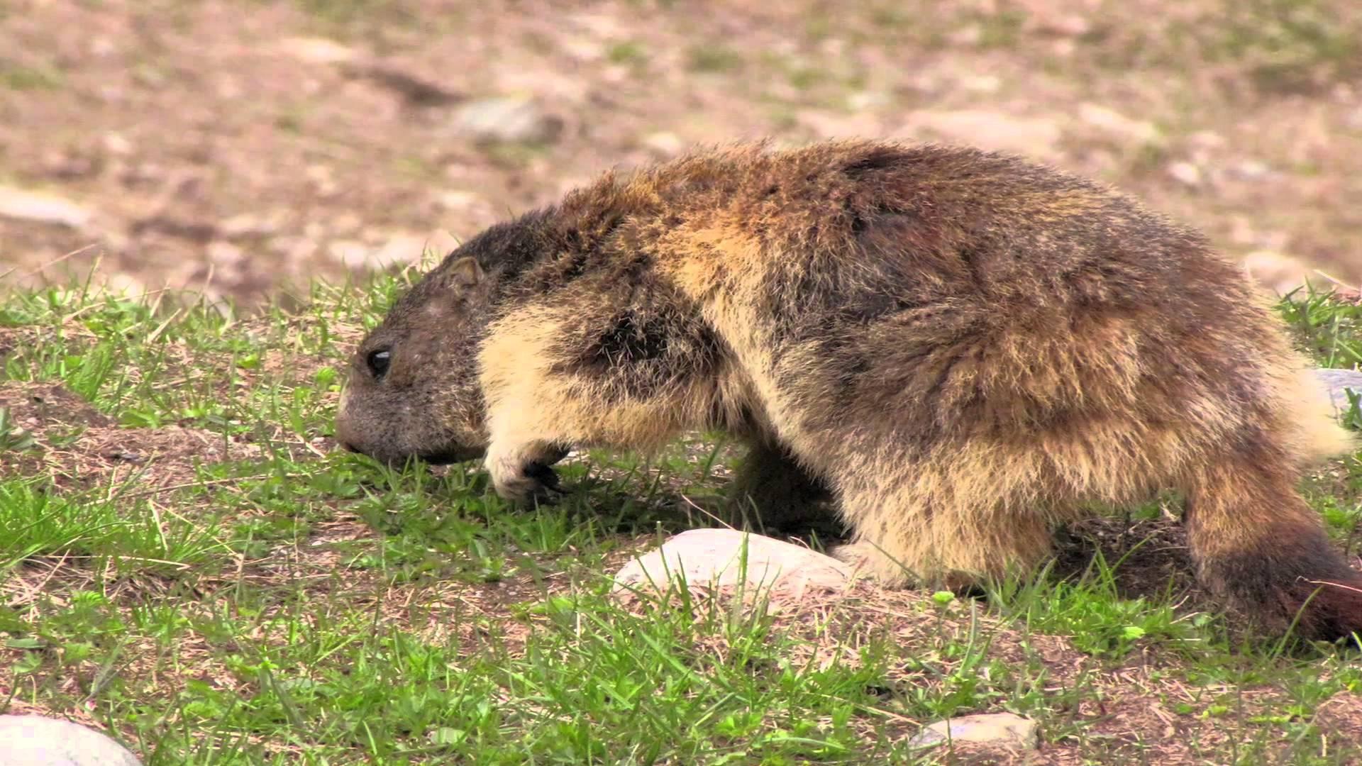 Pillole di natura: Marmotte, che passione!