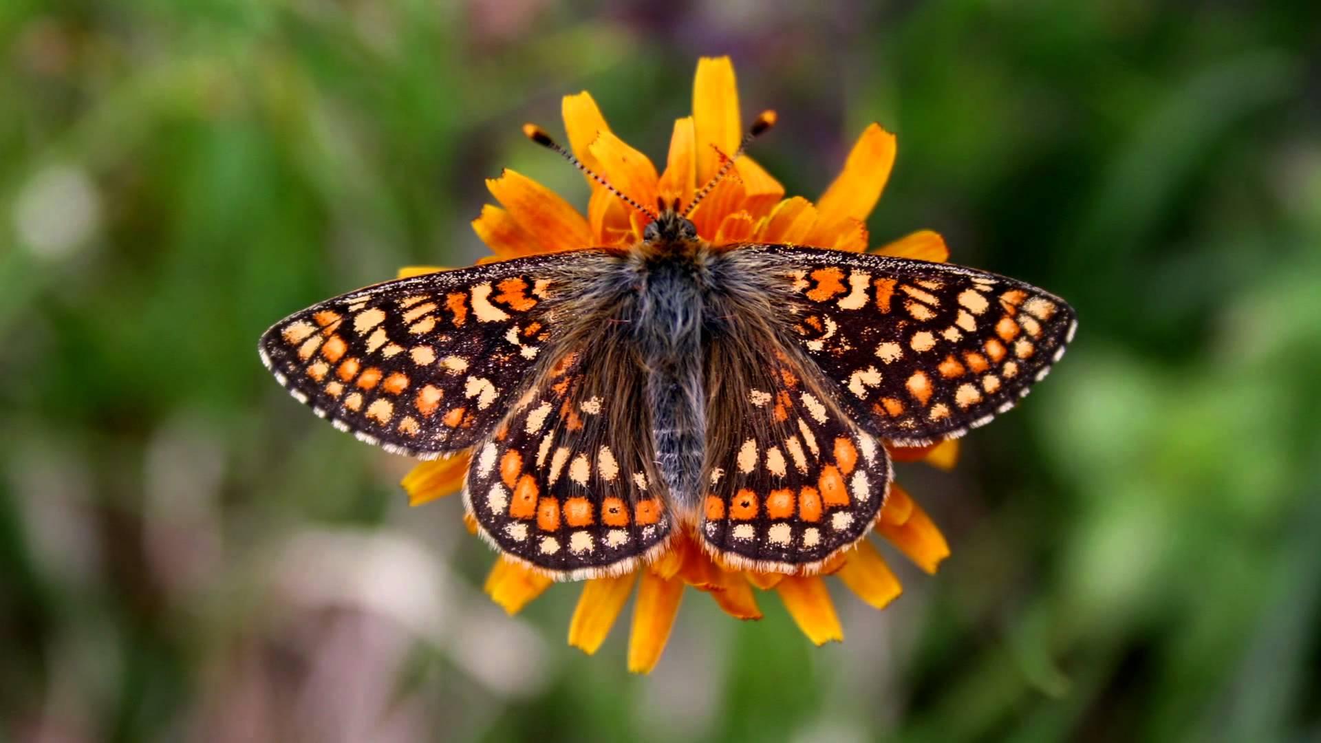 Pillole di natura: Mille e mille farfalle