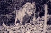 Pillole di natura: Una fame da lupi