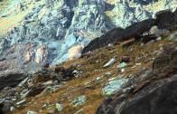 Pillole di natura: lo stambecco, Re della montagna